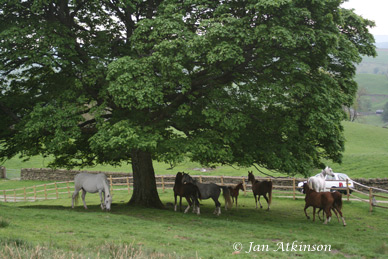 herd under sycamore tree